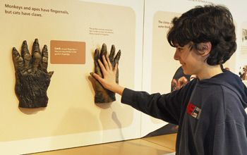 Photo of boy sizing up his hand with that of a gorilla's in Penn Museum's new interactive exhibition: