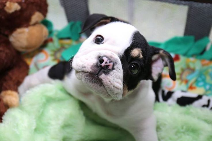 Bonsai the Puppy Born With 2 Legs is on a Mission to Live Life to the Fullest! needs help with therapy