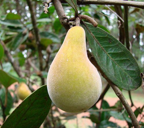 Eugenia klotzschiana (Wild Brazilian Pear)-Extremely rare fruit from the savannas of Brazil by João de Deus Medeiros, via Flickr