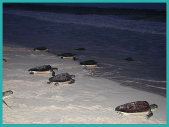 Turtle Release activity - amazing experience to watch newly born turtles make their way to sea