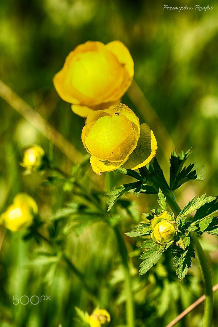 European globe-flower - null