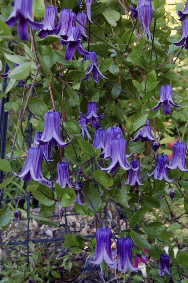 clematis rooguchi pruning 3 blooming season summer zones. Black Bedroom Furniture Sets. Home Design Ideas