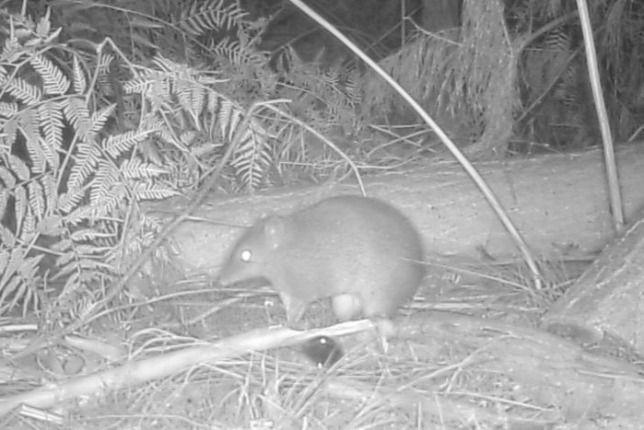 Újra feltűnt egy veszélyeztetett kis erszényes Ausztráliában