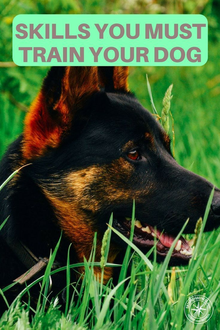 Dog Survival: 5 Skills You Must Train Your Dog - Training your dog certain techniques is essential for both his protection as well as the protection of your family. via @KaufmannsPuppy