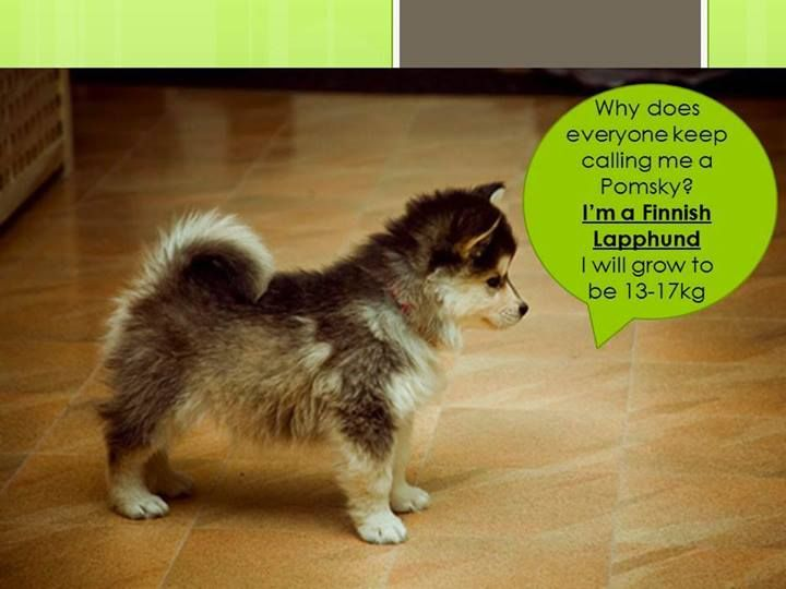 This is not a Pomeranian/husky mix- this is a Finnish ...
