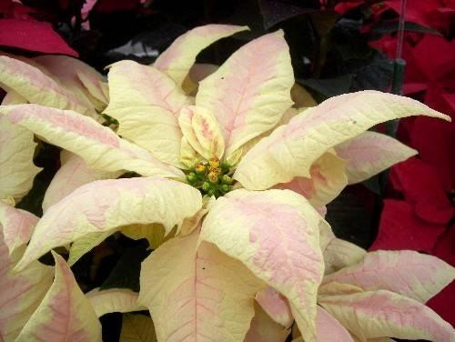 53 Best Poinsettias Colors Images On Pinterest Christmas
