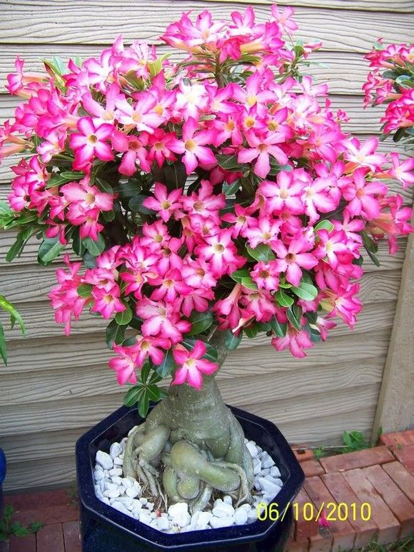 Desert rose-Adenium obesum  7 years old plant.