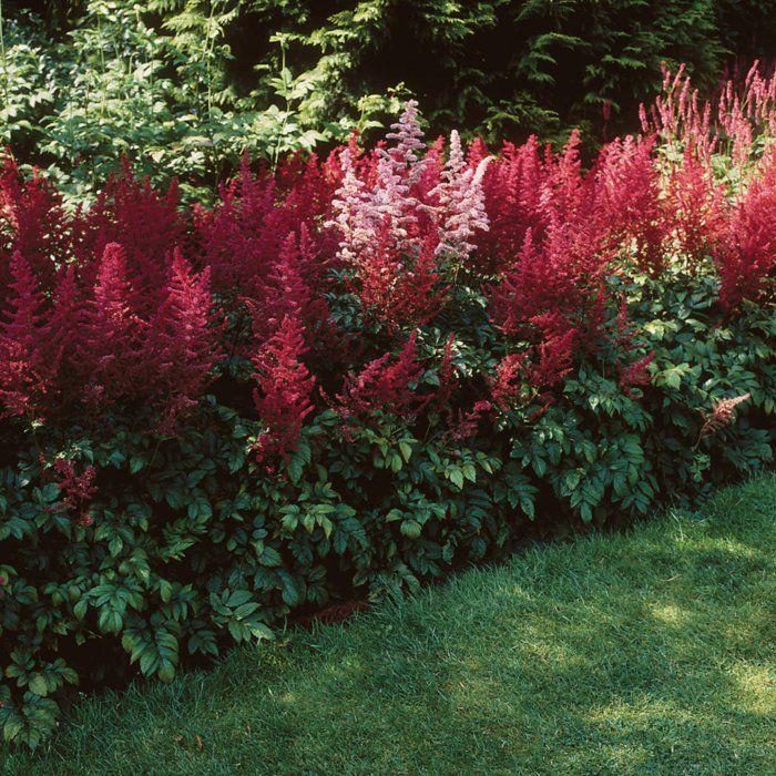 Prachtspieren schattenpflanzen gartenideen gartenpflanzen