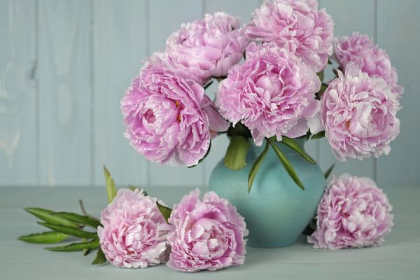 Here's How to Grow Peonies That Last Forever- Southernliving. As in, at least 50 years.   When the first huge peony unfurls into a flounce of petals, you want to touch it, and live somewhere inside that magnificent bloom. The perfume, lifted by late-spring air, can't be inhaled deeply enough. Of all those gorgeous