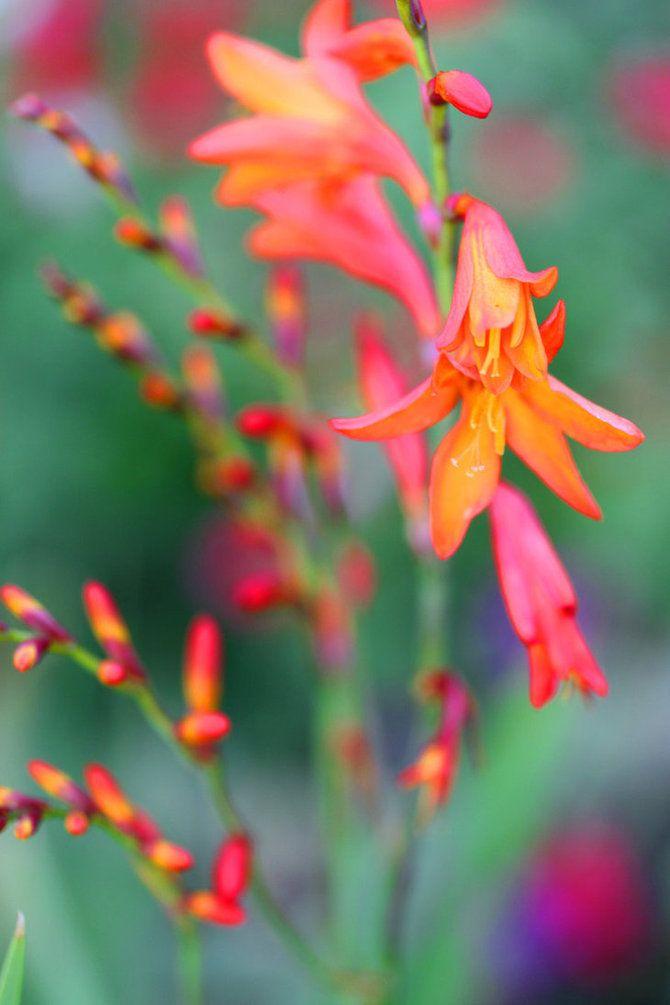 Monbresia. encore une plante du jardin de la république.