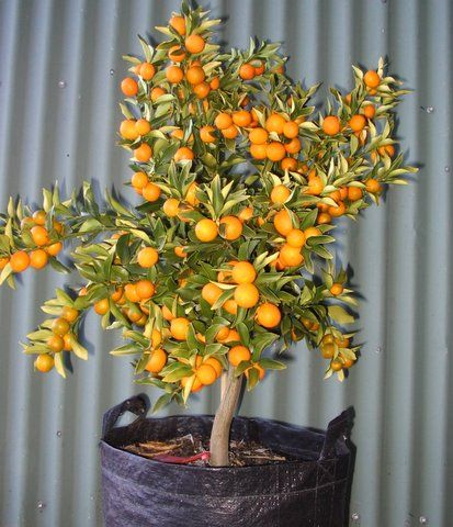 kumquat (dwarf citrus) -- great for pots