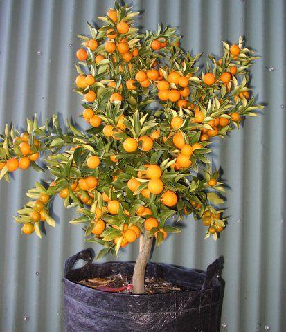 kumquat (dwarf citrus) -- great for pots