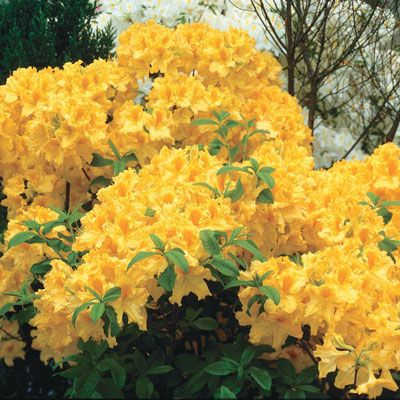 Buy Golden Lights Hardy Azalea at Spring Hill Nursery