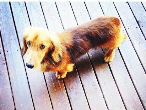Help! Missing dachshund, perth Australia Dachshund