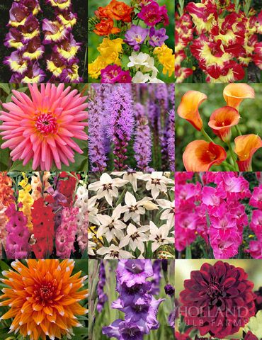 Summer Cut Flower Garden with 193 bulbs!  Includes: Gladiolus, Freesia, Dahlias, Liatris, Calla Lilies, and more!  If you enjoy having fresh cut flowers in your home all season then this collection is perfect for you! This array of bulbs will give way to blooms from mid-summer to early Autumn in an assortment of heights, textures and colors.