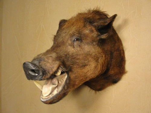 Taxidermy Boar S Head Shoulder Mount Wild Pig Hog