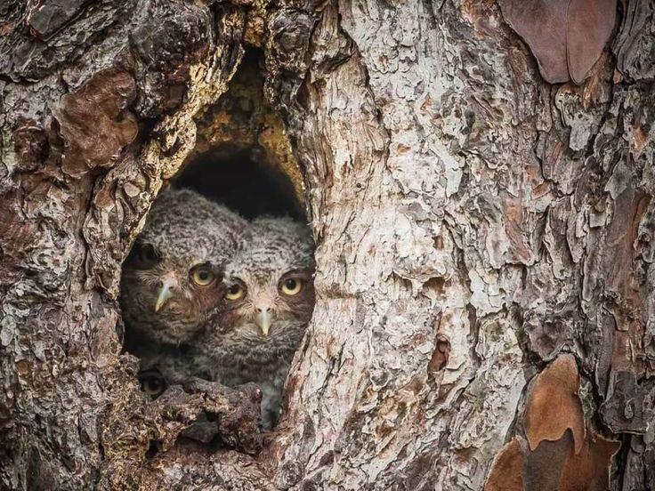 C'è ma non si vede: è il gufo, maestro della mimetizzazione, stavolta ritratto nei boschi della Florida negli Stati Uniti. In questa galleria nuovi scatti del fotografo scozzese Graham McGeorge, rimasto appostato per due settimane a meno di dieci metri di distanza da una famiglia di gu
