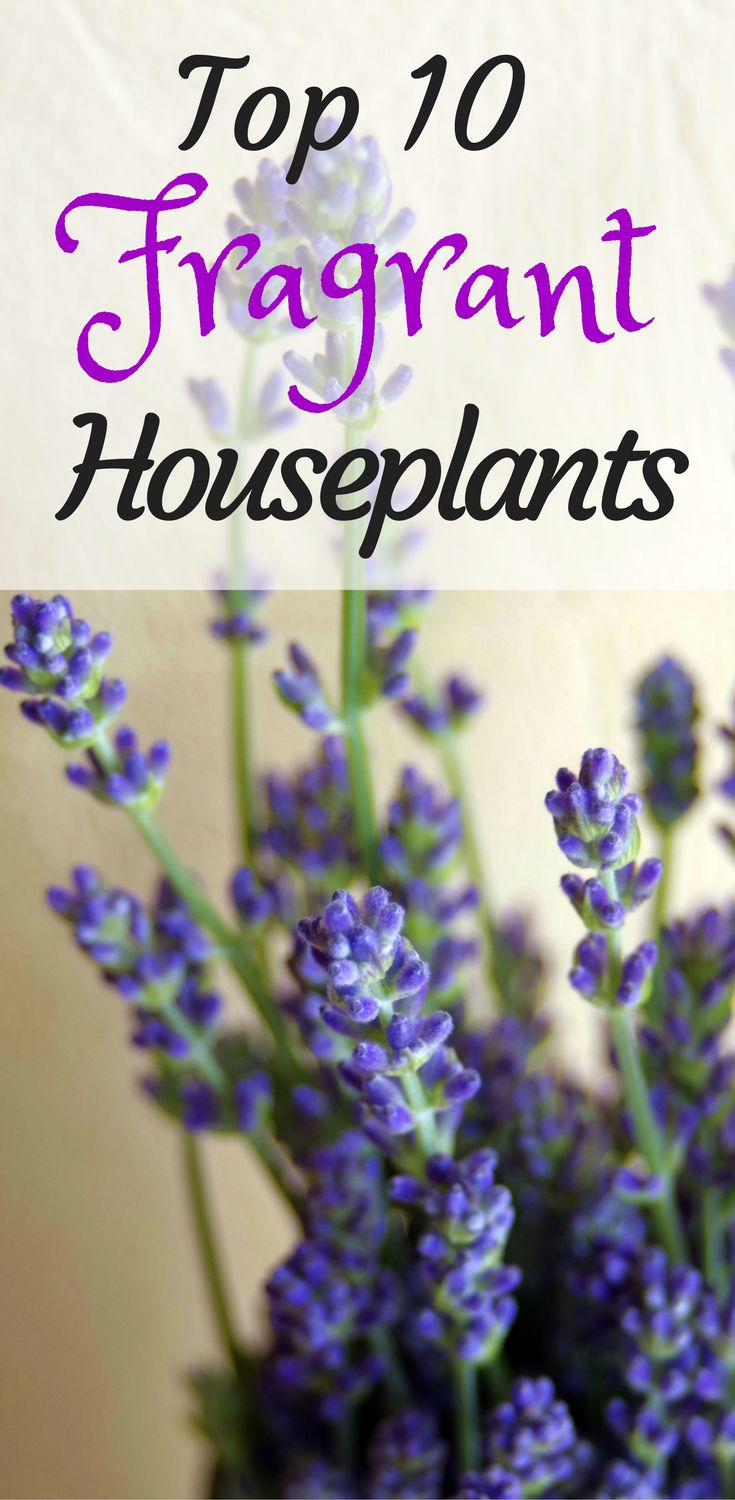 Top 10 Fragrant HouseplantsThe Girl with a Shovel | Indoor and Outdoor Plant Design