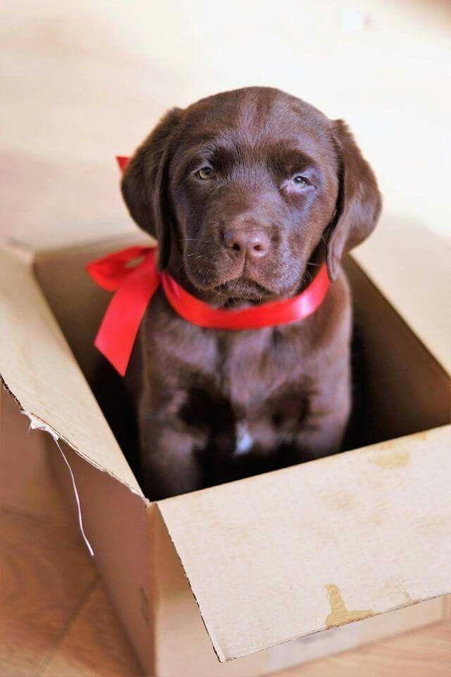Chocolate Labrador Puppy #LabradorRetriever