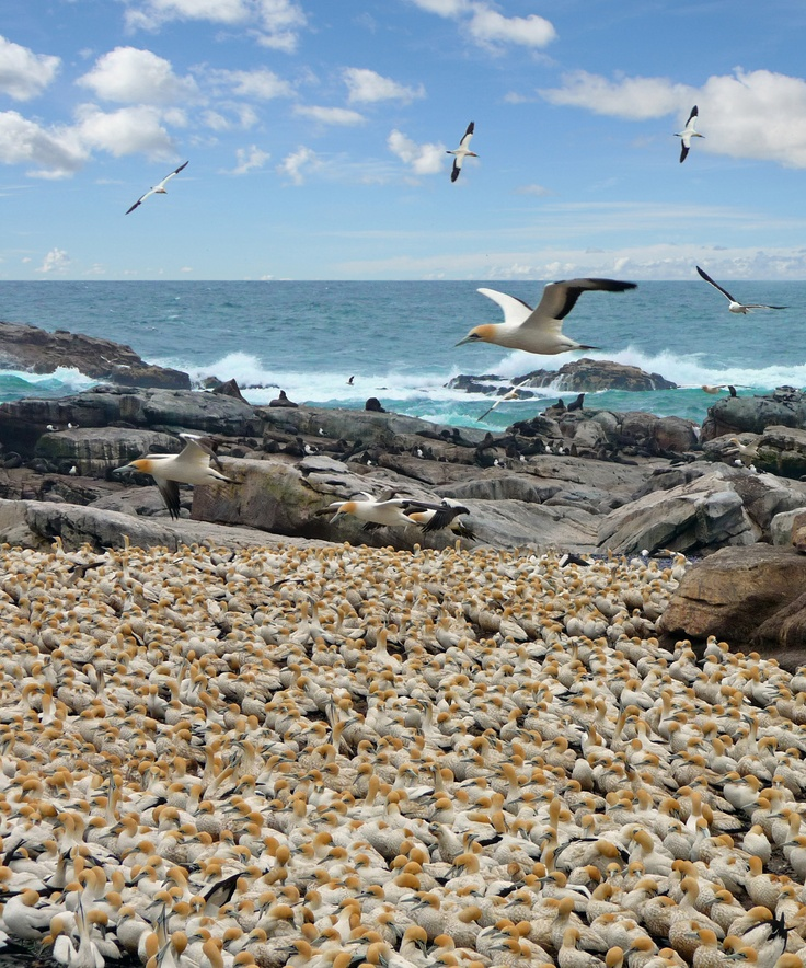 The massive number of Cape Gannets at Lamberts Bay is certainly one of the West Coast's most impressive sights
