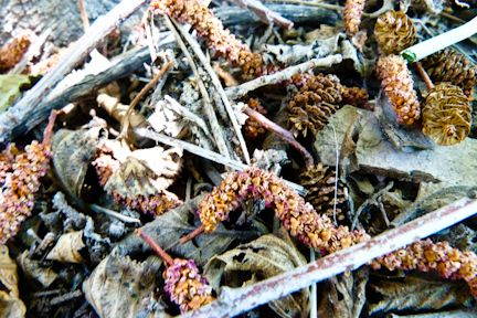 River Medicine: Alder's Transformation of Lymph, Blood, and The Human Ecology