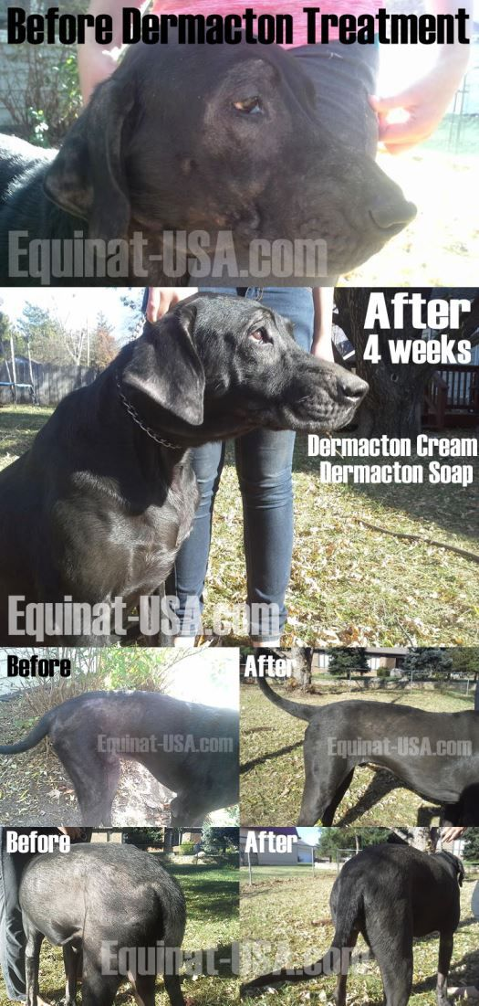 dog yeast infection & skin allergy treatment with natural Dermacton #dogs #skin #yeast