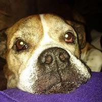Bulldog dog for Adoption in Newcastle, ON. ADN-584828 on PuppyFinder.com Gender: Male. Age: Adult
