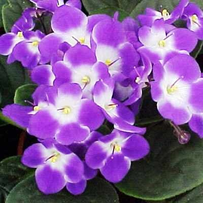 17 Best images about African Violets - Others on Pinterest ...