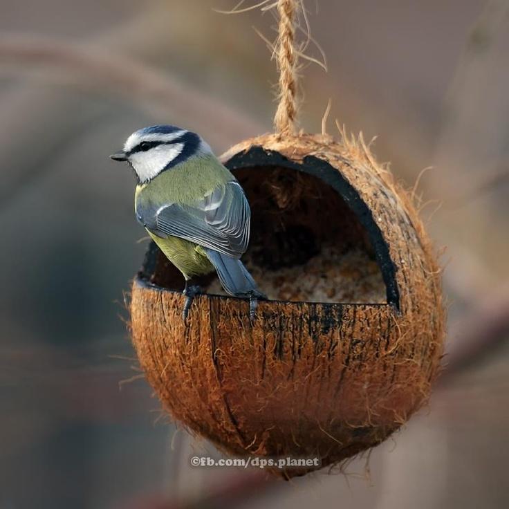 Coconut bird house for Whole coconut bird feeders
