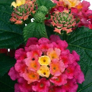 Lantana Tropic 2 Pre-Planted Troughs Colour Changing Flower HeadsThis wonderful variety produces a profusion of bright, multi-coloured flowers on neat mounded plants. As the season progresses, the flower heads will change as they develop http://www.MightGet.com/january-2017-11/lantana-tropic-2-pre-planted-troughs.asp