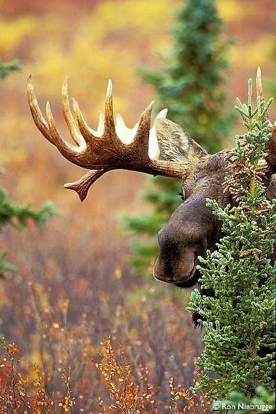 moose, Denali National Park, Alaska