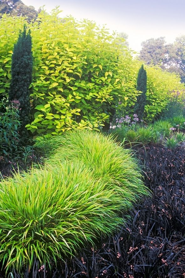 Hakonechloa macra and Ophiopogon planiscapus nigrescens - Japanese forest grass grows in shade!