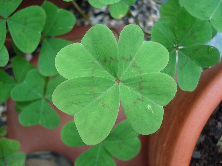 El trébol de cuatro hojas, la hierba más curiosa - https://www.jardineriaon.com/trebol-de-cuatro-hojas.html #plantas