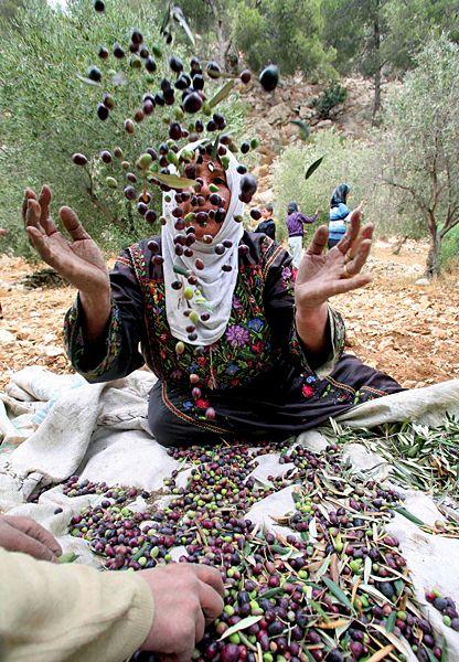 Live as a fair Trade farmer in Palestine