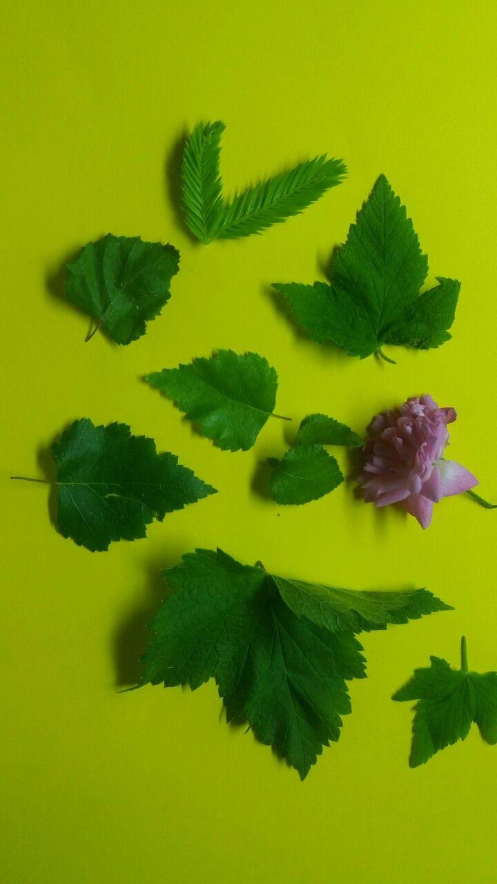 Löylytuoksuja tekemässä..  Kuivattuja koivun ja viinimarjan lehtiä, kuusenkerkkiä ja ruusuja