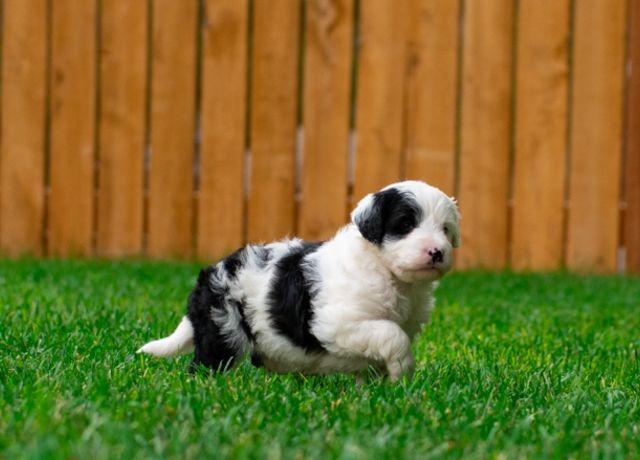 Bordoodle Puppy From Mountain Rose Bordoodles Bordoodle