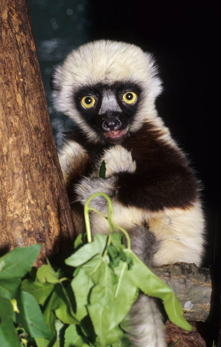 """On Monday, November 10, 2014, 'Jovian', an endangered Coquerel's Sifaka Lemur and star of the popular children's show """"Zoboomafoo"""", passed away. Today we are sharing pictures of Jovian from 1994, when he was a new zoo baby! Learn more: http://www.zooborns.com/zooborns/2014/11/jovian-star-of-zoboomafoo-passes-at-duke-lemur-center.html"""