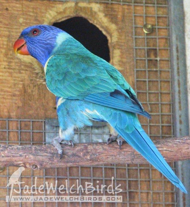 blue rainbow lorikeet or is it Blue Mutation? | Birds ...