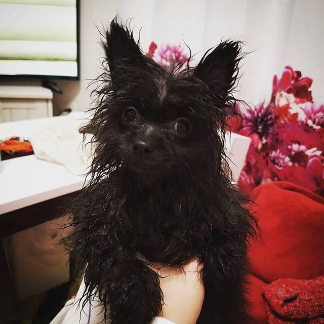 * 、  君の名は。 、 預かってもらって 本当に助かったけど…。 、 ありえない色のありえない緩さ。 2人とも。 、 うーん。 、 ごめんね。 、 * #ポメラニアン#ぽめらにあん#ぽめらにあんが世界一 #ポメラニアンが世界一可愛い #pomeranian#いいね#いいね返し #いいね返します #フォロー#ふぉろー#犬#いぬ#ウルフセーブル#多頭飼い#ふわもこ部 #親バカ部 #福岡#福岡犬#福岡犬民#犬バカ部 #いぬら部 #いぬすた#いぬすたぐらむ #かわいすぎる#おもしろ#dogstagram #写真好きな人と繋がりたい#愛犬#黒ポメ#黒