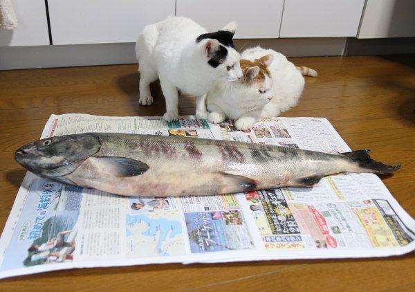 かご猫 Blog 鮭