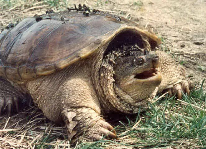 Snapping turtle diet
