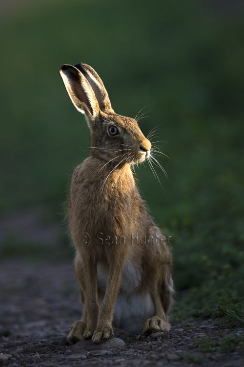 European brown hare on a farm track                                                                                                                                                                                 More