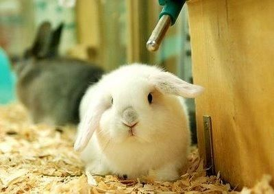 sub tipos de Conejo Belier