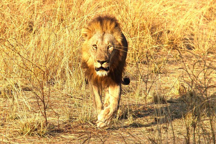 A observação de vida selvagem no seu habitat natural não é o mesmo que uma visita a um jardim zoológico. É verdade que, num ambiente selvagem, não há, nem poderia haver, qualquer garantia de avistamento de determinadas espécies, mas quando estamos cara-a-cara perante espécies animais no seu habitat natural, o resultado é imensamente mais gratificante …