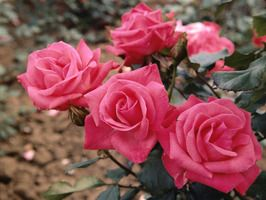 how to winterize your roses - Mini Roses Care Indoor