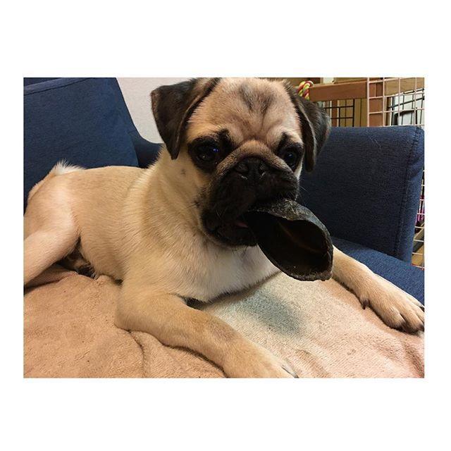 牛のヒヅメ、かなりお気に入りの様です😀🌟 牛のヒヅメでワンちゃんの歯が折れてしまう事がある様ですが、まめは噛むのではなくしゃぶってるので 笑  大丈夫そうです🙆🙆♂️ #パグ #パグ赤ちゃん #パピー #フォーン #犬 #わんこ #仔犬 #鼻ぺちゃ #pug #puglove #pugstagram #puglover #instapug #pugworld #パグ動画 #愛犬  #可愛い #親ばか #むちむち #ふわふわ #まめ