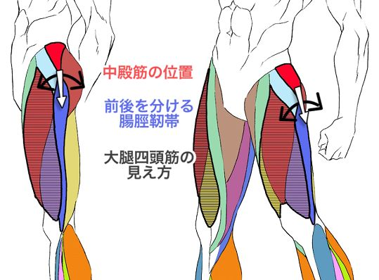 横と斜めから見た下半身の筋肉