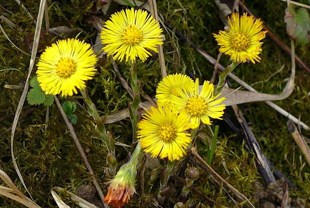 Coltsfoot - Health Benefits and Side Effects