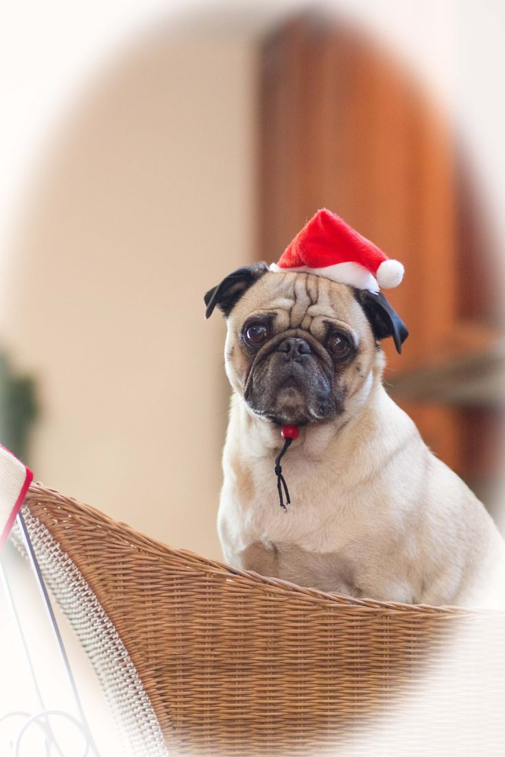 Greg the Pug - adopted from PugHearts of Houston Pug Rescue #AdoptDontShop