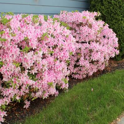 Showy Blooms in Spring til Fall! - Conversation Piece Azaleas are renowned for their stunning, multicolored blooms. You get unique pink flowers that stand out against rich dark green foliage.  These are broadleaf evergreens, so they keep their green foliage all year. However, this plant's claim to fame is its huge, striking pink...